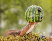 "Photographer Pictures Squirrel With water melon through his Kitchen Window<br /> <br /> photographer Geert Weggen took these images of a young red squirrel from his kitchen window,in Sweden,  ""It was great to watch the little squirrel playing around in and out of the water melon""<br /> ©Exclusivepix Media"
