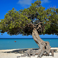 Iconic Divi-divi Tree at Eagle Beach near Oranjestad, Aruba <br />
