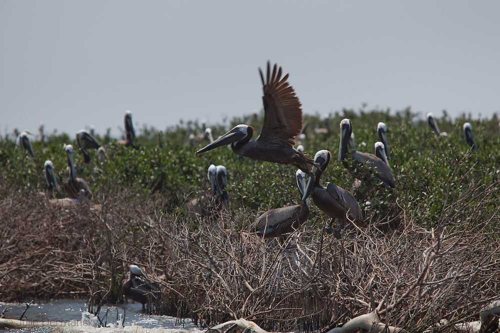 5/24/2010 Brown Pelicans, Louisiana's State bird  on Cat Island, a barrier island  in Plaquemines Parish, that was exposed to BP oil that washed up on the shore. Protective  boom was set up after the fact by subcontractors hired by BP to protect the bird rookery on the island, however it didn't stop the oil from contaminating the island.