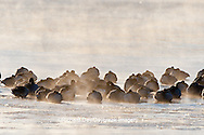 00748-05415 Canada Geese (Branta canadensis) flock on frozen lake at sunrise, Marion Co, IL