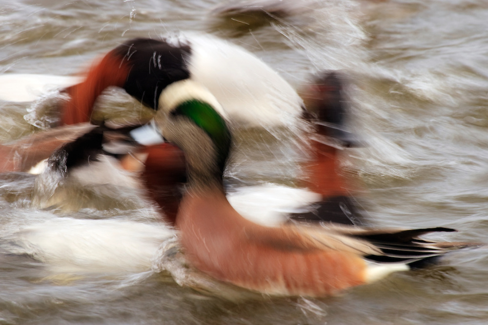 Long exposure of canvasbacks (Aythya valisineria) and American wigeons (Anas americana) actively feeding, Choptank River, Cambridge, Maryland