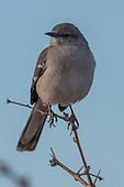 Mockingbird, Northern / Mimus polyglottos