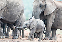 African Elephant Calf,  Addo Elephant National Park, Eastern Cape, South Africa