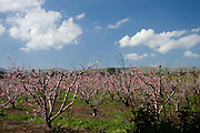 Israel Upper Galilee pink almond blossoms on Almond trees in a plantation