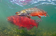 Dolly Varden (with Chinook Salmon)<br />
