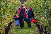 The last shift of the day, everyone is happy to be finished - Seasonal workers from Romania start picking the Pinot Noir grapes at the Redfold Vineyard which produces English Sparkling wine in East Sussex.