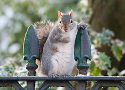 An eastern gray squirrel, Sciurus carolinensis, eating from bags of rubbish in Claremont Terrace, Glasgow, Scotland, UK.