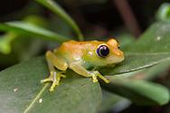 green bright-eyed frog (Boophis viridis)<br /> MADAGASCAR: Toamasina province<br /> Andasibe-Mantadia National Park<br /> 4-Jun-2018<br /> J.C. Abbott &amp; K.K. Abbott