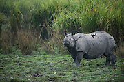 Indian Rhinoceros (Rhinoceros unicornis)<br /> Greater one-horned rhinoceros<br /> Indian one-horned rhinoceros<br /> Kaziranga National Park<br /> Assam<br /> North East India<br /> UNESCO World Heritage Site<br /> Vulnerable