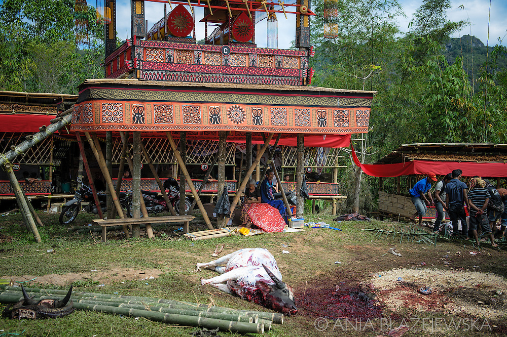 """Indonesia, Sulawesi. Buffalo sacrificing. <br /> <br /> The most important ceremony in Tana Toraja is a funeral, because of the beliefs, that without proper funeral rites the soul of the deceased will be not only enter the second life, but also will bring a misfortune to the whole members of the family.<br /> Although Torajan funeral tradition can vary depending on a particular village, a typical ceremony lasts for 4 days. The first day is a procession, during which the deceased is visiting the whole village. Second day it's """"receiving"""", when all the guests arrive and are welcomed by the family members. The third day is the most bloody, because of the buffalo slaughtery (the Torajans believe that the animals should follow people in the second life). On the fourth day the body is taken to the grave."""