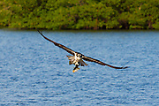 Osprey, Pandion haliaetus, in flight after catching mullet fish and flying to safe ground to eat it, Captiva Island, Florida USA