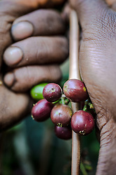 Jamila Abamacha harvests coffee on the Teppi plantation in the Kaffa region of Ethiopia. It is one of Ethiopia's largest plantations where Starbucks buys much of its coffee from Ethiopia.Coffee permeates the cultural fabric of Ethiopian life, and is celebrated daily in coffee ceremonies. Families prepare it in the living room using a pan to roast over coals, a mortar and pestle to grind, and a clay pot to boil and brew. The coffee ceremony is at once a social tradition, a celebration of the virtuous properties of coffee, and an opportunity for contemplation and reflection. Coffee is served over a period of time in three individual rounds—the Abol, Tona, and Baraka, each of which has its specific significance. Life without coffee is almost unimaginable—most people drink it in the morning, the afternoon, the evening, and sometimes late into the night. Ethiopia is one of only two producing countries that drink more than half of what they grow.