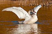 Swans, Sandhill Cranes