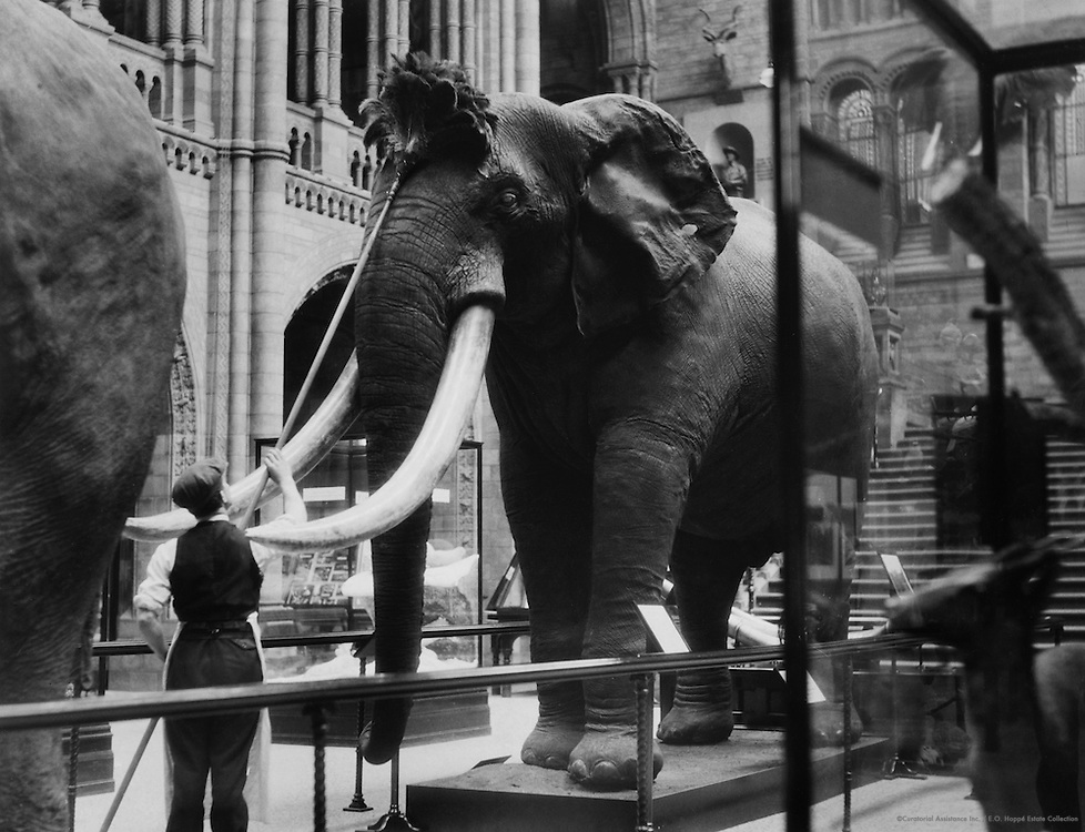 Dusting the Elephant, Natural History Museum, London, 1931