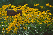 Roger Crowley / CrowleyPhotos.com<br /> <br /> Blackeyed Susans surround a country mailbox in East Montpelier Vermont.