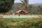 Tanzania, Rural farming community a field of onions