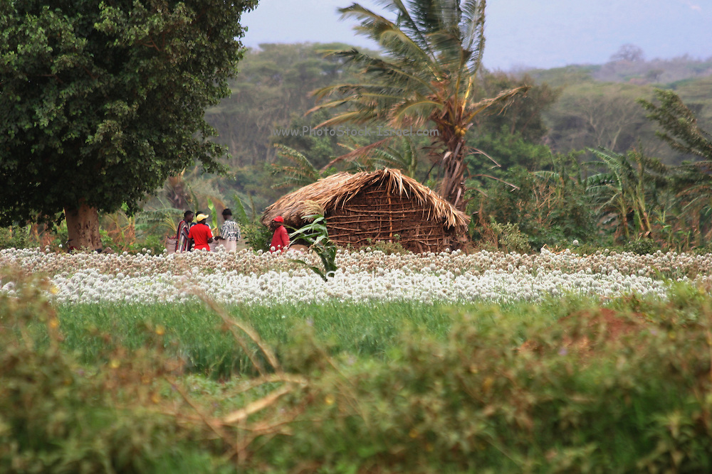Tanzania, Rural farming community a field of onions