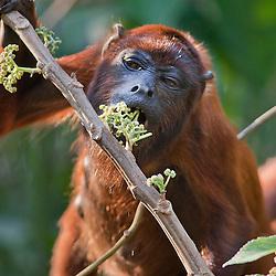 Red howler monkey feeding on flowers, Peru, Tambopata - Roter Brüllaffe bei der Nahrungsaufnahme, Peru, Tambopata