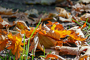 Red and Orange Autumn coloured leaves on green grass