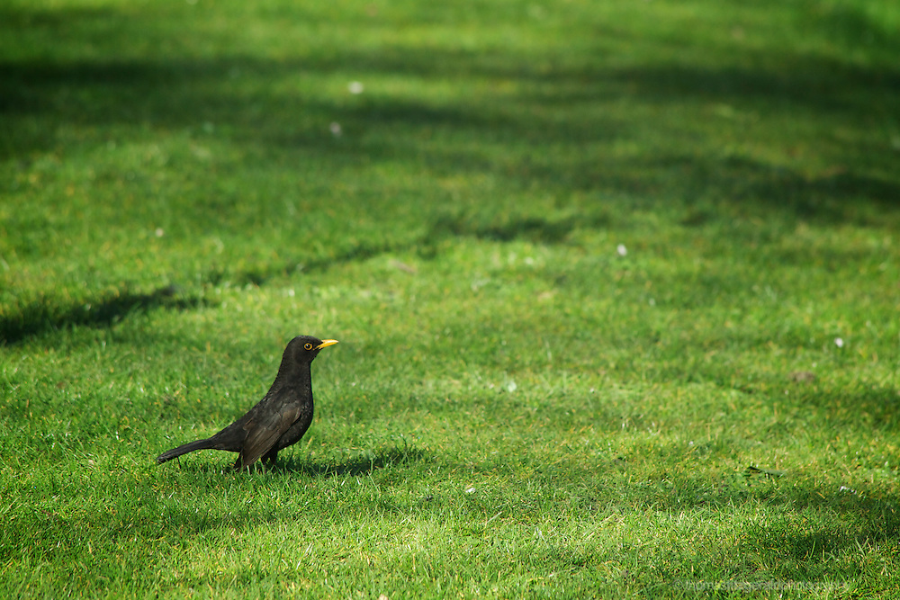 A blackbird stands in the grass on a warm spring morning in a city park