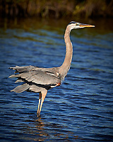 Great Blue Heron. Blackpoint Wildlife Drive, Merritt Island National Wildlife Refuge. Image taken with a Nikon D4 camera and 500 mm f/4 VR lens (ISO 450, 500 mm, f/6.3, 1/4000 sec).