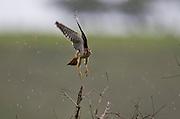 Sao Roque de Minas_MG, Brasil...Parque Nacional da Serra da Canastra em Sao Roque de Minas, Minas Gerais. Na foto Gaviao Quiriquiri (Falco sparverius)...Serra da Canastra National Park in Sao Roque de Minas, Minas Gerais. In this photo the bird The American Kestrel (Falco sparverius)...Foto: JOAO MARCOS ROSA / NITRO.