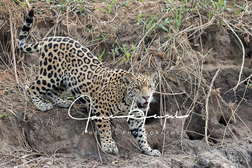 Jaguar Climbing Down River Bank