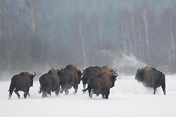 Kudde Wisenten in de sneeuw op open vlakte; Running European Bison in snow