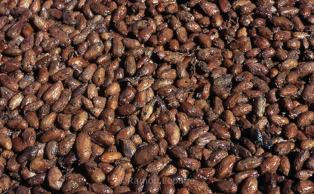 Secado de Cacao. Después de fermentados, los granos son colocados al sol por unos cuatro o cinco días, tiempo en que se ponen rojizos u oscuros. Cabe destacar que para la elaboración del chocolate son indispensables las semillas de cacao. 2001 (Ramón Lepage / Orinoquiaphoto)   Dried of Cocoa. After fermented, the grains are placed to the Sun for approximately four or five days, time in which they become reddish or dark. It's necessary to emphasize that for the elaboration of the chocolate the cocoa's seeds  are indispensable. 2001 (Ramon Lepage / Orinoquiaphoto)