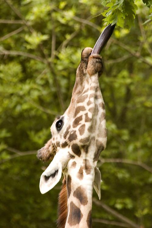 Feeding Giraffe Portrait