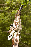 Feeding Giraffe Portrait