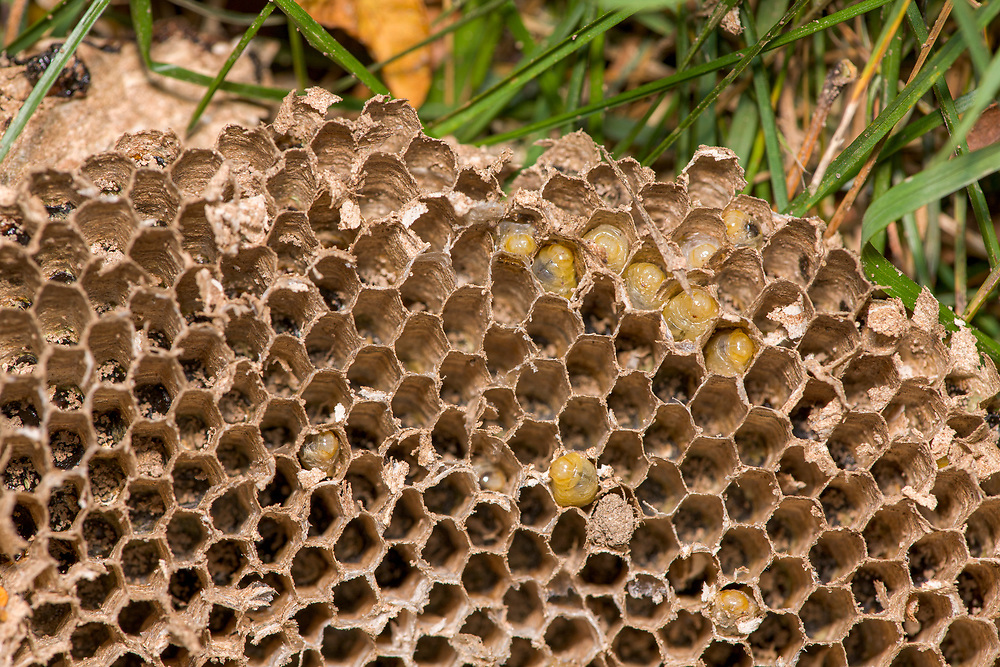 Nest sprayed (after I got stung) and dug up overnight (skunk, racoon?). Grubs in brood comb.