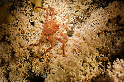 Northern stone crab (Lithodes maja) on Live Lophelia pertusa reef in Trondheimfjord, North Atlantic Ocean, Norway