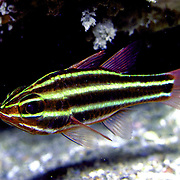 Blackstripe Cardinalfish inhabit reefs lurking under ledges and in caves. Picture taken Vanuatu.