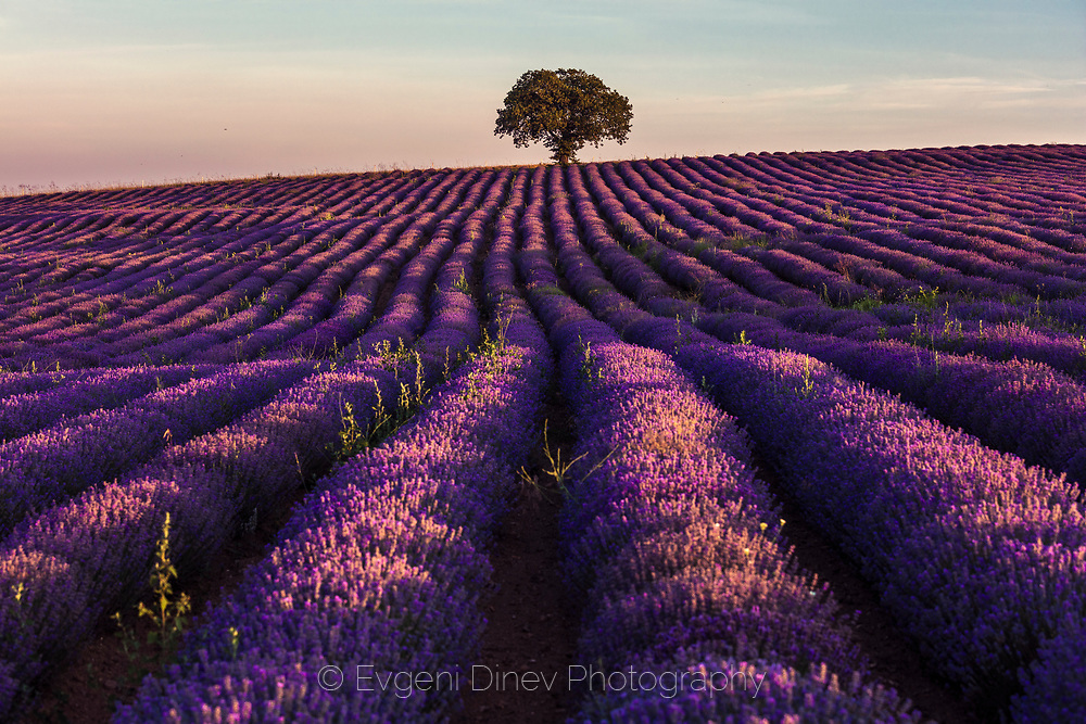 A tree at the end of lavender field