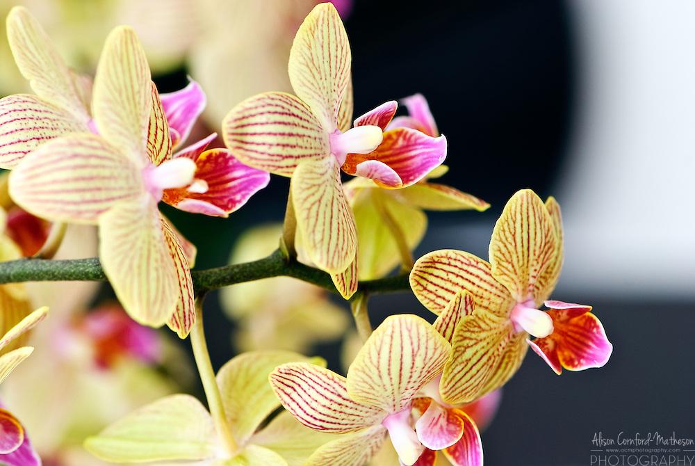 Phalaenopsis Orchid 'Andrea' Keukenhof Spring Tulip Gardens, Lisse, The Netherlands.