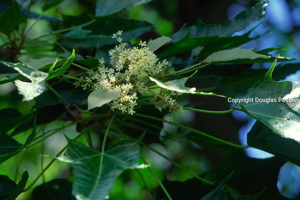 Kukui nut tree, flower<br />