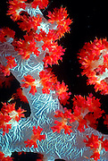 UNDERWATER MARINE LIFE WEST PACIFIC, Southwest CORAL: Soft Coral with polyps open for feeding Octocorallia