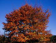 A3A8GD Autumn orange leaves on winter oak tree against clear blue sky