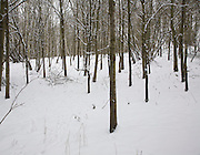 Woodland winter landscape trees in snow, Suffolk, England