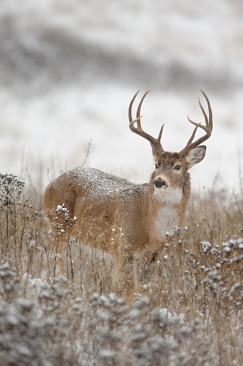 White-tailed Deer Buck - Odocoileus vriginianus - Western Montana