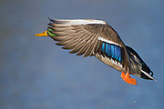 Image captured in Colorado. The mallard is one of the most popular ducks in North America.