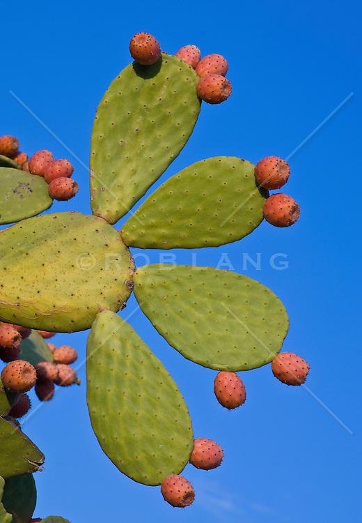 Cactus Coverd In Red Prickly Fruit
