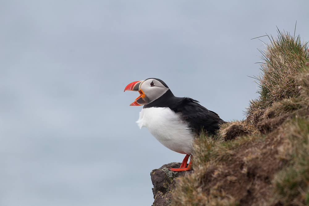 Puffin on a cliff, with open mouth against  a light blue background