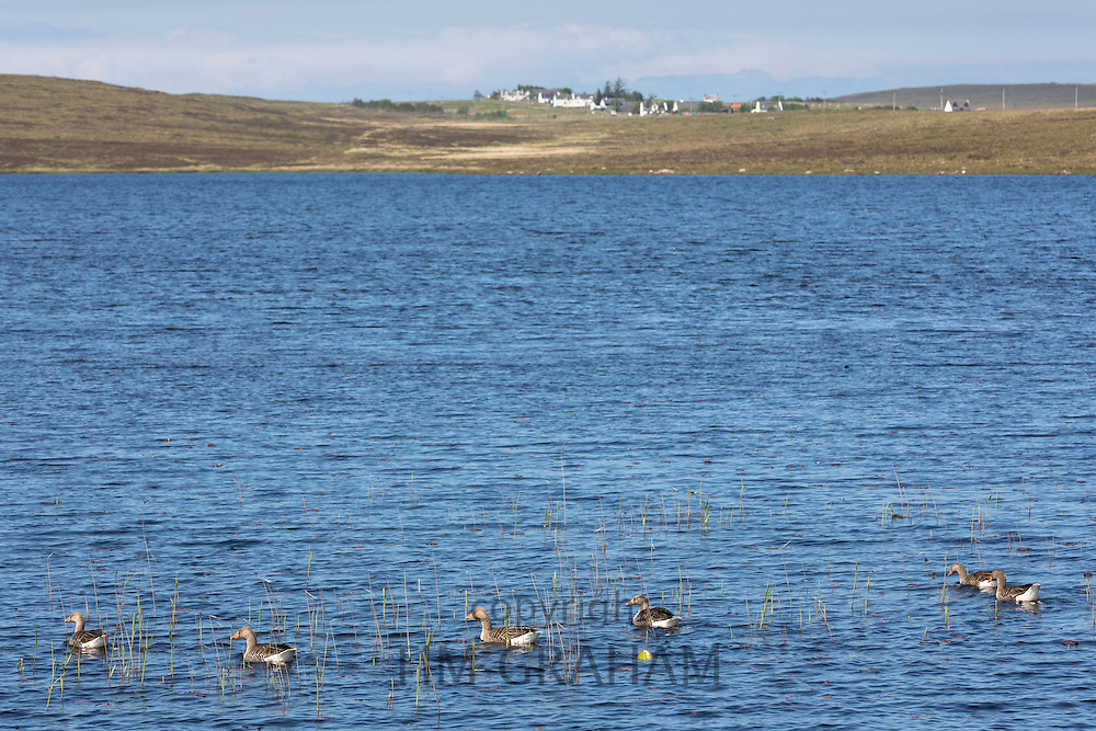 Family of Greylags - wild Greylag geese and goslings, Anser anser, on Loch Rea in Coigach region of the Scottish Highlands