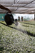 Patrocinio _ MG, Brasil .. Viveiro de mudas de cafe. .. Nursery seedlings of coffee...Foto: Leo Drumond / Agencia Nitro