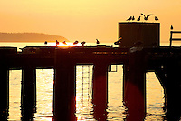 Gulls sit on Westview Ferry terminal at sunset, Powell River BC