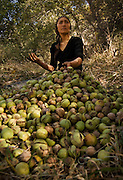 A Kyrgyz girl helps her family collect and peel freshly fallen walnuts - Images from the wild walnut forests of Kyrgyzstan, part of a conservation project with Fauna&Flora International and the Christensen Fund.