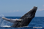 humpback whale, Megaptera novaeangliae, half-breach or lazy breach, Kona Coast of Hawaii Island, the Big Island ( Central Pacific Ocean )