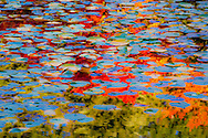 water lilies in fall reflections